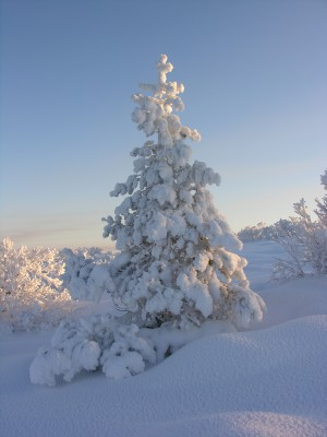 Snow covered tree in forest