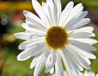 Single white daisy flower