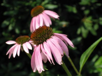 Echinacea Plant Close-up