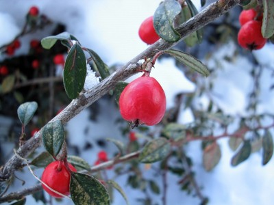 Winter Berries on Branches