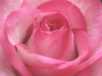 Closeup of a beautiful pink rose