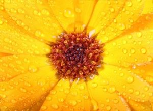 Orange Calendula Flower Closeup