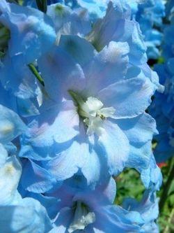 Delphinium Larkspur flower blue