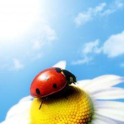Ladybug on calendula