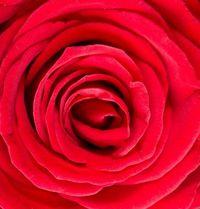 Red rose macro image