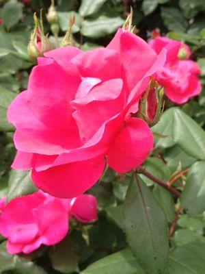 Rose from Amorette's garden