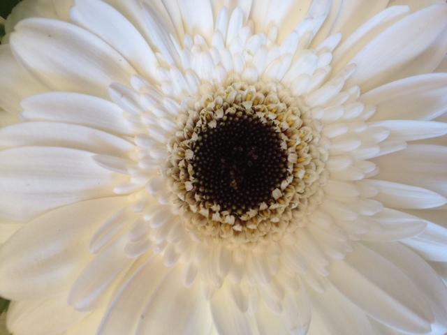 White gerber daisy closeup