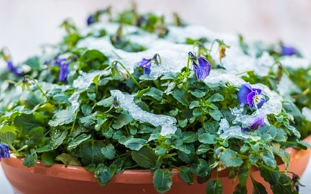 Ice on pansy flowers in pot