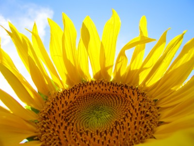 Close-up of Sunflower with blue sky