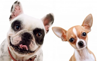 Bulldog and Chihuahua Dogs - head cocked