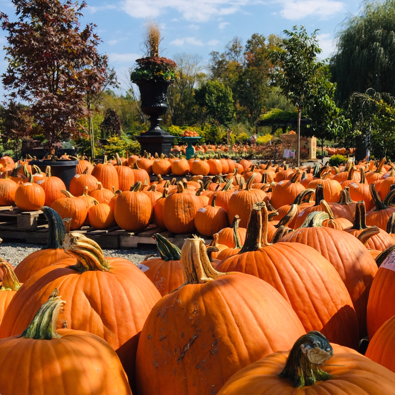 Pumpkins Fall 2109